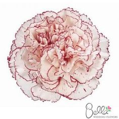 """Today, carnations are anything but that filler flower of the 70′s. They come in amazing natural colors ranging from green tea green to deep amethyst, violet, and pale lilac. The are long lasting and hold up well in hot weather. Best of all they look amazing when designed """"en masse"""" for a centerpiece or designed in the English-dome pave style for a bouquet. Get this beautiful white and purple carnation for your wedding and have it shipped straight from the farm to your doorstep! $99"""