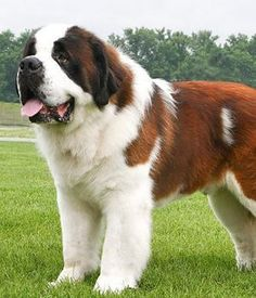 From Switzerland comes the St Bernard dog which is one of the largest dog breeds in the world. This canine can claim to be the epitome of rescue dogs, and it ha Chien Saint Bernard, St Bernard Breed, St Bernard Puppy, Beautiful Dogs, Animals Beautiful, Cute Animals, Giant Animals, Animals Dog, Large Dog Breeds