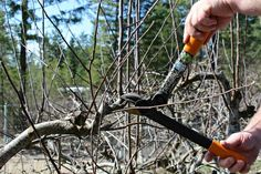 Tips and steps on how to prune apple trees. If you grow apple trees annual pruning is important. Learn how to prune your trees. Prune Fruit, Pruning Fruit Trees, Planting Garlic, Apple Tree, Gardening Tips, Garden Tools, Things To Come, Chicken, Husband