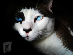 Tapetum Lucidum, Cute Kittens, Kittens Meowing, Funny Cat Videos, Funny Cats, Funny Animals, Communication Animale, Cat With Blue Eyes, Photo Chat