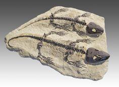 Fossil Captorhinus aguti specimens