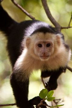 Capuchin Monkey - Lantern Press Photography (Art Print Available), Multi Monkey Art, Cute Monkey, Cthulhu, Reptiles, Sitting In A Tree, Tier Fotos, Mundo Animal, Exotic Pets, Exotic Animals