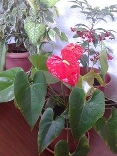 Meu Antúrio... as flores nasceram agora na primavera
