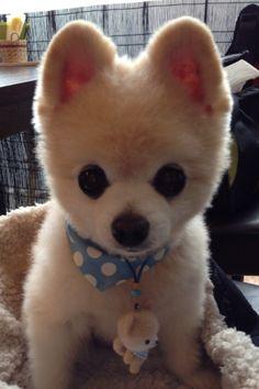 Pomeranian, Shunsuke 俊介君 like a doll