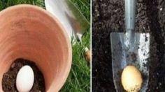 Žena posypala postel sodou. Když zjistíte proč, uděláte to také. – Domaci Tipy Gardening For Beginners, Gardening Tips, Flower Pots, Flowers, Bury, This Man, Eggs, Shit Happens, Canning