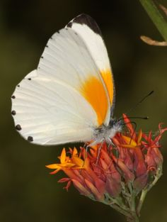 A butterfly is cold blooded and therefor it relies on the sun to raise its body temperature so it can move. Butterflies can't fly if their body temperature is below 86 °F (30 °C) and that is why they re-appear in springtime when temperatures reach 60 °F (15.5 °C)