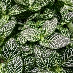 The Fittonia plants in store have the most incredibly deep green leaves, beautifully veined with contrasting white. They are loving the humidity at the moment, however be cautious of direct sunlight… If you have any queries about caring for your indoor or outdoor plants please ask a member of our team. We are super friendly and love answering your questions! ‪#‎N1GardenCentre‬ ‪#‎lifenhancing‬ ‪#‎indoorplant‬ ‪#‎Islington‬ ‪#‎London‬