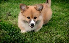 Download wallpapers Corgi, cute little dog, puppy, pets, dogs, green grass