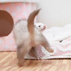 "1,194 Likes, 25 Comments - ʢ•·̫•ʡHana&Hina&Huna&Helena (@ackey_73) on Instagram: ""ʢ๑ꔷ͈⸰̫ꔷ͈ꯨʡ<はぁ〜どすこいどすこいだよん♪ #ferret #pet #petstagram #instaferret #ferretgram"""