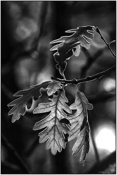 Black and White Photography People: Get Professional Looking Pictures With These Tips – B & W Photography ltd Black N White, Black And White Pictures, Natur Tattoos, Leaf Photography, Fotografia Macro, Photo D Art, Oak Leaves, Jolie Photo, Black And White Photography