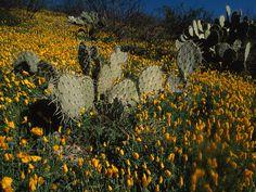 Piante del deserto Sonora