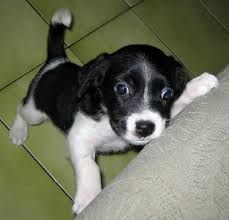 Image result for border beagle