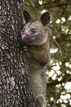 ~~A male Northern brushtail possum in Humpty Doo, Darwin, Northern Territory, Australia by Scarlet23   wikipedia~~