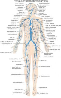 arteries and veins of the human body arteries inside the skull Human Bones Diagram fysiurgisk mass r tag h nd om din krop nervous system diagram human body anatomy