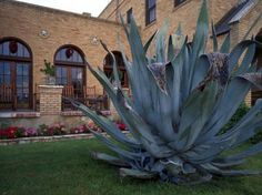 How to transplant Agave pups