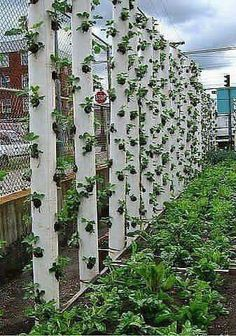 PVC Pipe strawberry planters