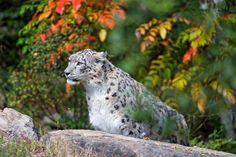 snow leopard #4k wallpaper (4402x2930)