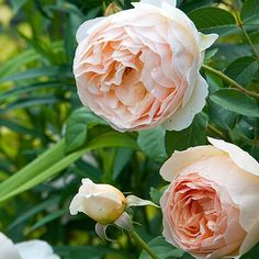 Fragrant Flowers and Plants: The David Austin rose 'Jude the Obscure' is one of the most fragrant flowers in my garden.