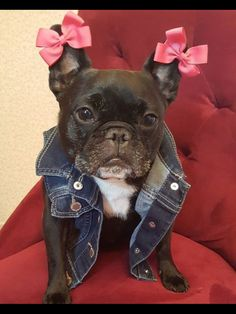 """My Mom REALLY needs a hobby!"", a French Bulldog, Pretty in Pink Bows ; }"