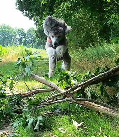 #Poodle #poodles Jump