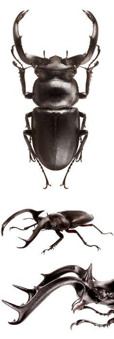 Rhaetulus crenatus - LUCANIDAE - Stag horn beetle