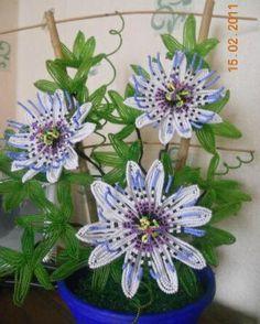 Passion fleurs