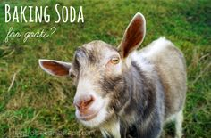 baking soda for goats - why it is important in their feeding habits