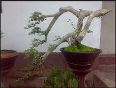 10 Best Lantana Bonsai Images Bonsai Bonsai Plants Drift Wood