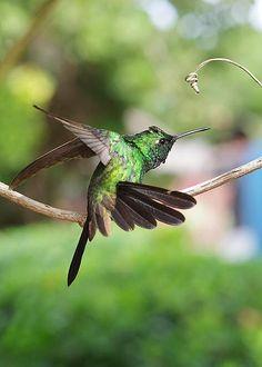 Male Cuban Emerald Hummingbird by Le Cong Duc Dao