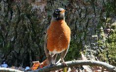 Our alarm clock :-) #nationalwildlifefederation #nwf #BackyardHabitat #StarWoods #Birds