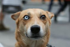 According to a Native American myth dogs with different eye colors can see both heaven and earth. (via Humans of New York)