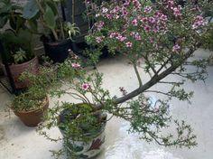 Japanese rose, Bonsai