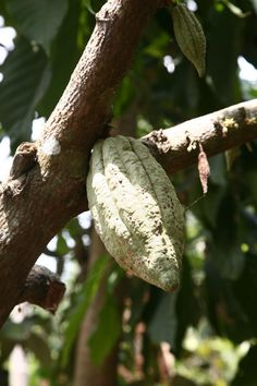 'cauliflowering'- the unique way cacao pods grow off of the tree trunk itself