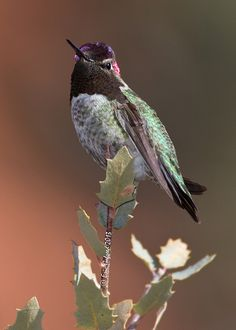 Anna's Hummingbird (female).  This hardy little bird is a permanent resident along our Pacific Coast |`   457 × 640