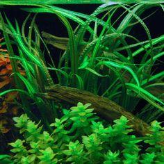 AquaBid.com - Item # liveplants1427140216 - 6 Balansae crispatula plants FREE SHIPPING - Ends: Mon Mar 23 2015 - 02:50:16 PM CDT
