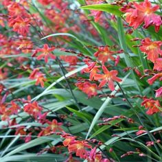 Flammenmeer Im Staudenbeet Garten Montbretien Staudenbeet Pflanzen Knollenpflanzen