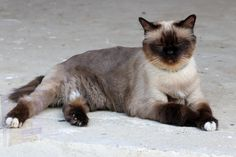 Beautiful Cats, Animals Beautiful, Pretty Cats, Adorable Animals, Funny Animals, Largest Domestic Cat, Tired Animals, Large Cat Breeds, Domestic Cat Breeds