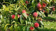 Pozrite si ďalšie video z našej série o reze a tvarovaní ovocných drevín. Pesto, Gardening, Apple, Fruit, Apple Fruit, Lawn And Garden, Apples, Horticulture