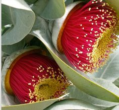 Eucalyptus √ Australian Native Garden, Australian Native Flowers, Amazing Flowers, Beautiful Flowers, Secret Life Of Plants, Mid Century Landscaping, Bush Garden, Australian Wildflowers, Botanical Drawings