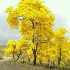 The National Tree of Venezuela, bursts forth into blazing yellow to announce the rainy season is about to begin. Beautiful World, Beautiful Places, Beautiful Beautiful, Yellow Tree, Autumn Scenery, Colorful Trees, Tree Forest, Flowering Trees, Nature Pictures