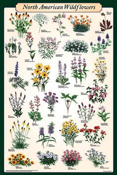North American Wildflowers Educational Science Chart Poster Print at AllPosters. Illustration Botanique, Botanical Illustration, Digital Illustration, Science Chart, Impressions Botaniques, Wildflower Tattoo, Wildflower Drawing, Botanical Prints, Botanical Drawings