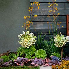 Aeoniums, echeverias, Sedum nussbaumerianum - remember these names for plants that require little water!
