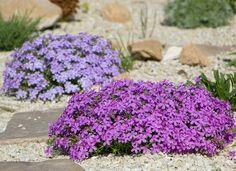 Creeping Phlox Garden Yard Ideas, Diy Garden, Dream Garden, Lawn And Garden, Herb Garden, Cheap Landscaping Ideas, Landscaping Plants, Front Yard Landscaping, Decorative Rock Landscaping