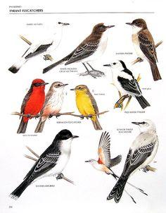 White Monjita, Eastern Phoebe, Vermilion Flycatcher, Pied Water Tyrant, Kingbird - 1990 Vintage Encyclopedia of World Birds Book Page - 11 x 9