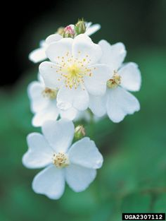 Thursday, April 9th, 2015: Multiflora Rose, Rosa multiflora (Rosales: Rosaceae) - James H. Miller, USDA Forest Service, Bugwood.org