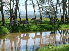 Lake Nakuru zebras, Kenya © IUCN Geoffroy Mauvais   © IUCN G…   Flickr