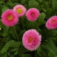 Bellis Pomponette Rose (9cm Pot)