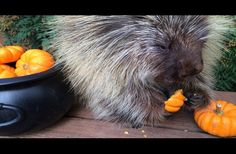 She Gave This Porcupine A Pumpkin. Wait Until You Hear The Sound He Makes... It's Adorable