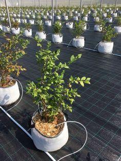 Blueberry Farm, Plants, Plant, Planets
