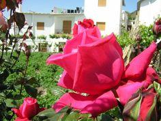 A rose in Yegen